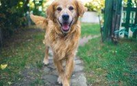 An image of a smiling Golden Retriever